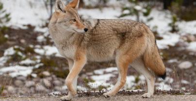 Must-do: Winter Wildtierbeobachtung im Jasper National Park