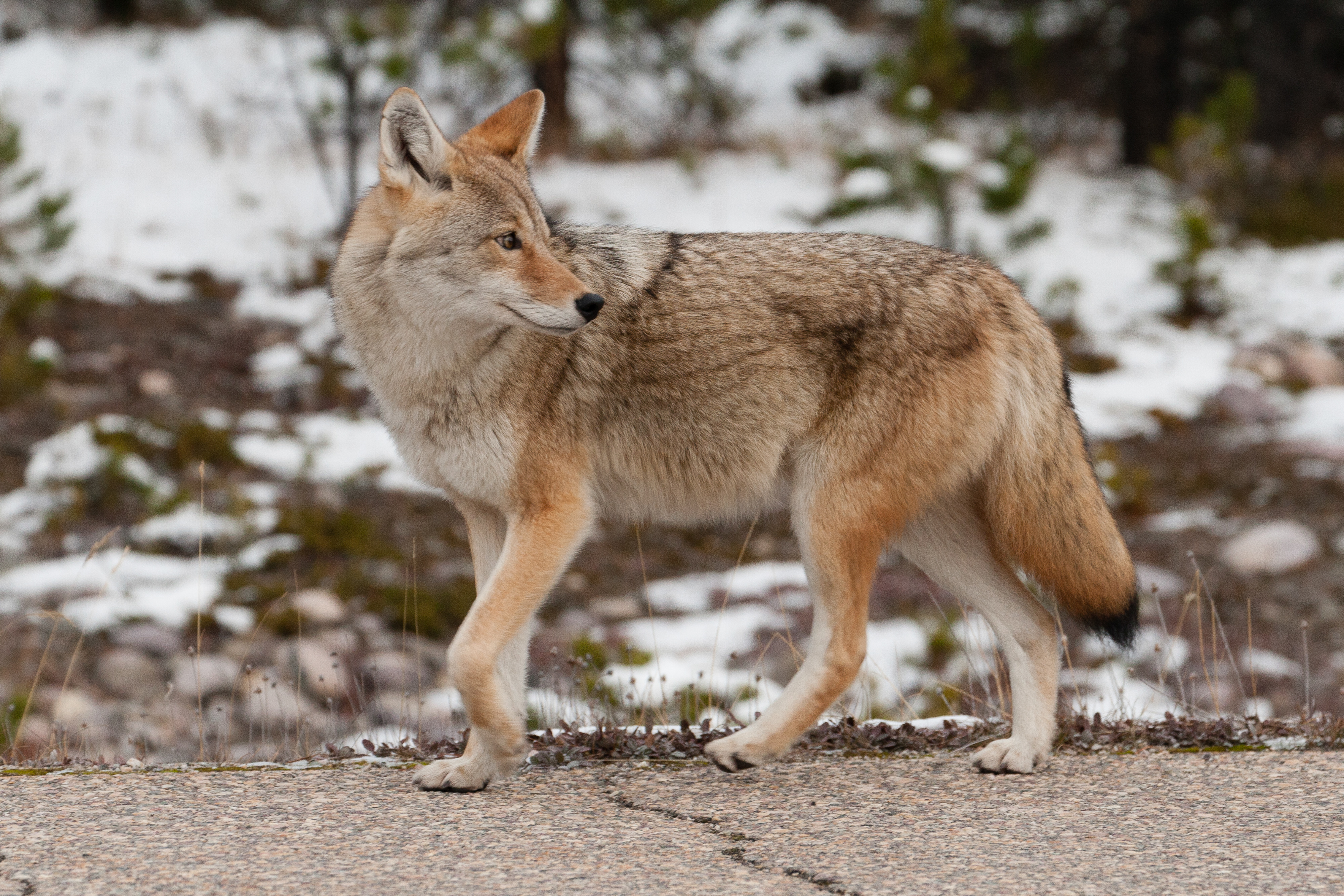 Winter wildlife Jasper
