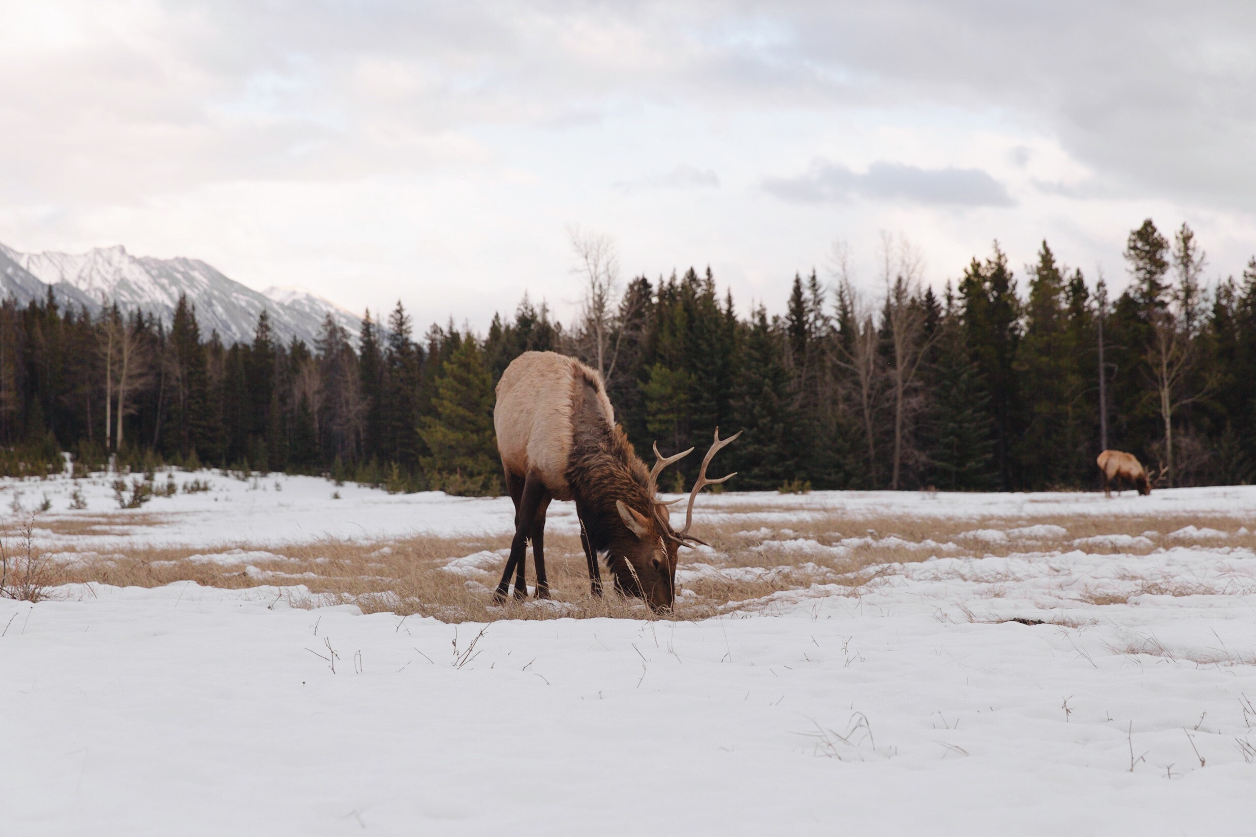 Wildlife Jasper
